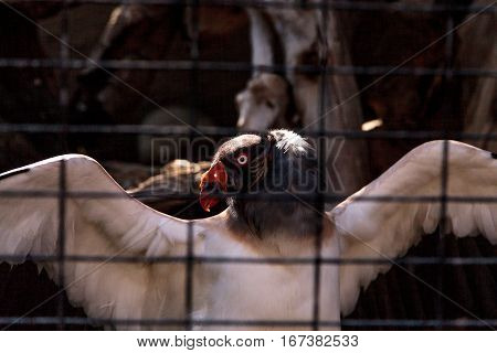 King vulture Sarcoramphus papa stands behind bars spreading his wings.
