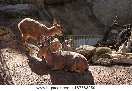 Nubian ibex Capra nubiana is a goat found in the desert of the Middle East