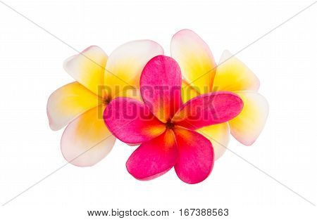 frangipani Aloha Tropics flower isolated white background