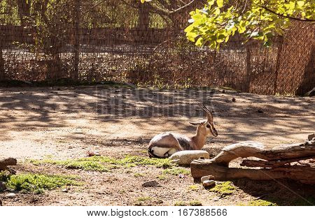 Speke's gazelle Gazella spekei is a small gazelle found on grasslands of Africa