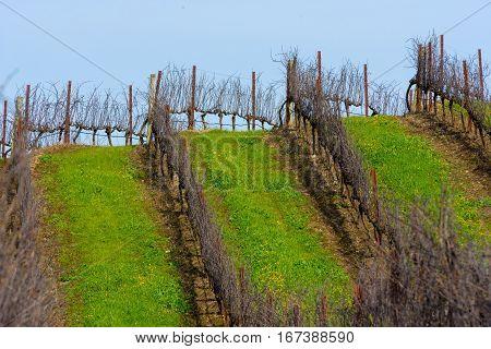 Rows Of Empty Grape Vines In Vineyard