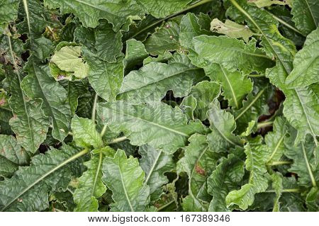 fresh green elephantopus scaber plant in nature garden