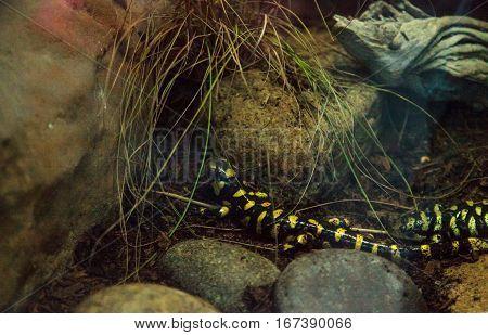 Tiger salamander Ambystoma tigrinum in a terrarium habitat with water.