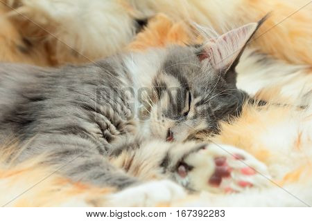 Kitten of Maine coon is sleeping on spotted fur background