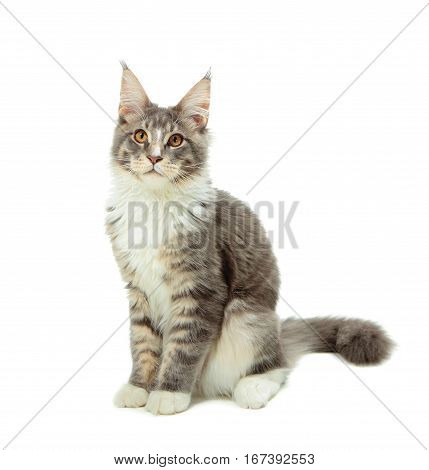 Kitten of Maine coon on white background