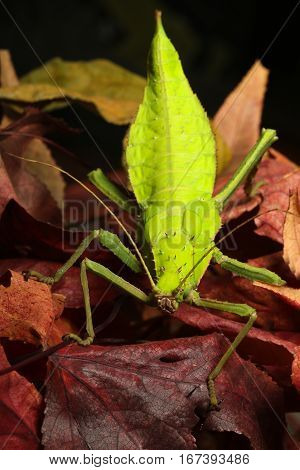 Green female of Malaysian Stick Insect Heteropteryx dilatata