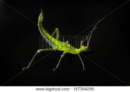 Female of Malaysian Stick Insect Heteropteryx dilatata on black