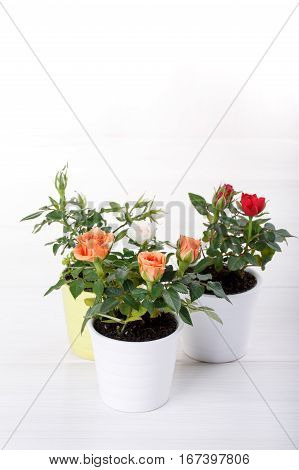 Three miniature rose plant with flowers of different colors in a flowerpot on white. Copy space.