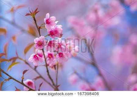 Pink Cherry Blossoms on blue sky background Pink flowers on blue sky background Blurred background