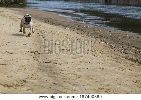 Pug puppy runs on a sandy beach on a summer day. Dog on a walk.