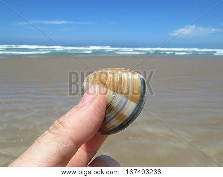 Pipi shell mollusc shellfish on an Australian sand beach