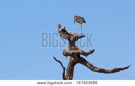 Scavenger Bird Marabou Storks Africa Safari Wildlife And Wilderness
