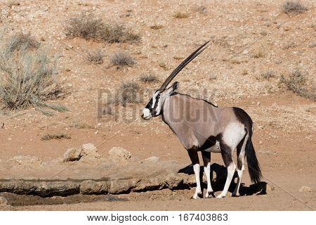 Gemsbok, Oryx Gazelle In Kgalagadi, South Africa Safari Wildlife