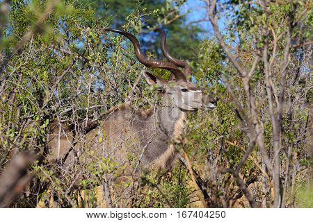 Greater Kudu (tragelaphus Strepsiceros) Africa Safari Wildlife And Wilderness