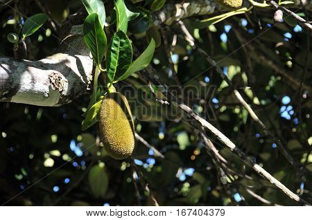 Jacquier Fruit in the Tree with Green Leafs in Reunion Island