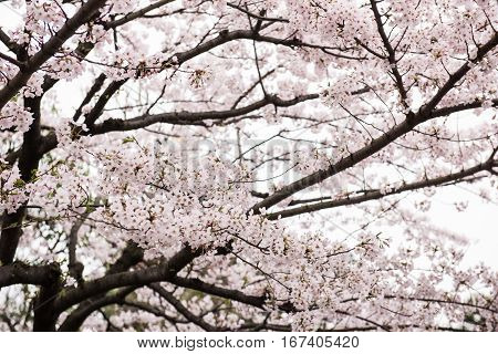 On this picture, a beautiful peach tree full of flowers is seen. The flowers look pretty delicate and amazing. On the background, the bright sky is seen during the day.