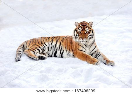 Beautiful young wild siberian tiger on snow