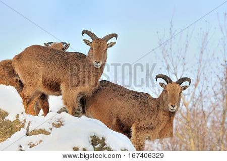 Young Alpine Ibex wild goat in winter
