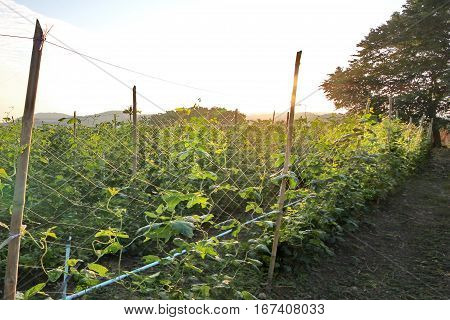 Planting String Beans By Providing A Winding On Tightrope .