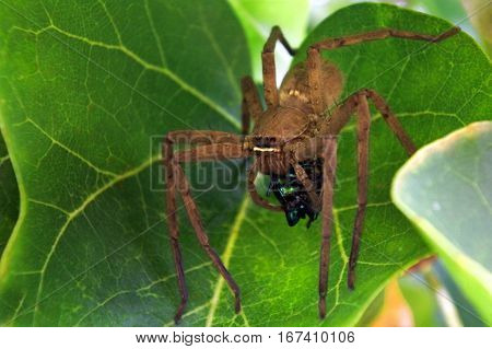 Huntsman Spider Use Venom To Immobilise  Beetle Prey