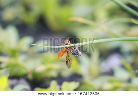 May-bug crawling on a green blade of grass with its wings outstretched
