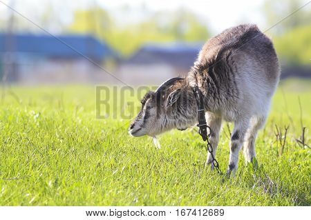 gray goat nibbling the green grass on the farm