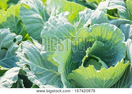 Close up of Growing salad lettuce in vegetable garden