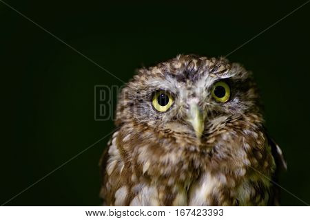 portrait of Little owl close up on dark background