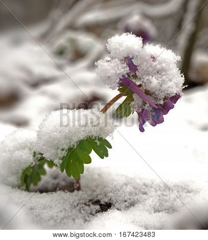 Birthwort flowers (Corydalis solida) covered with snow close-up. Spring beginning.