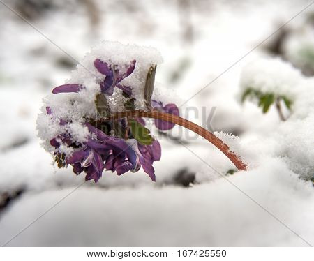 Birthwort flowers (Corydalis solida) close-up. Plant is covered with snow. It is a spring beginning.
