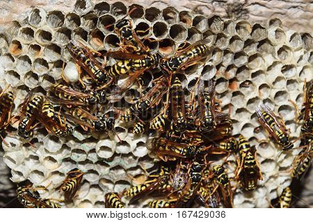 Wasp Nest With Wasps Sitting On It. Wasps Polist. The Nest Of A Family Of Wasps Which Is Taken A Clo