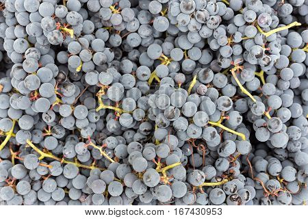 a lot of organic blue grapes background winemaking