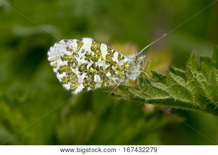 Male Orange Tip Butterfly Anthocharis cardamines sitting on tip of leaf with wings closed