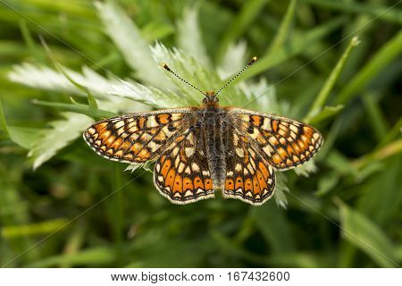Marsh Fritillary butterfly Euphydryas aurinia basking with wings open on a leaf