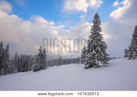 Magic Winter Landscape - Spruce Trees Covered With Snow