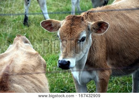 Cows in the Pasture Corral. Herd of cows on the pasture. Cows grazing outdoors. Healthy domestic animal on summer pasture. Herd of young calves looking at camera on summer green field.