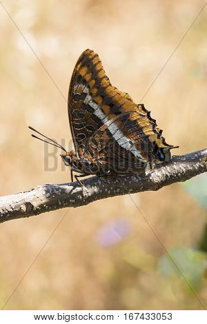 Two-tailed Pasha butterfly Charaxes jasius sitting on branch with underwings showing and blurred creamy background