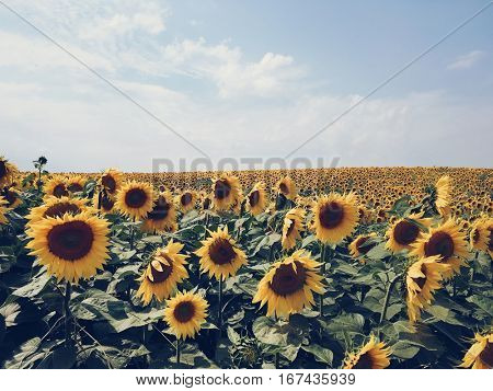 Yellow sunflower field lit by the sun. Picturesque and gorgeous scene. Location place Ukraine, Europe. Beauty world. Mobile photography.