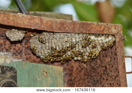 Wasp Nest With Wasps Sitting On It. Wasps Polist. The Nest Of A