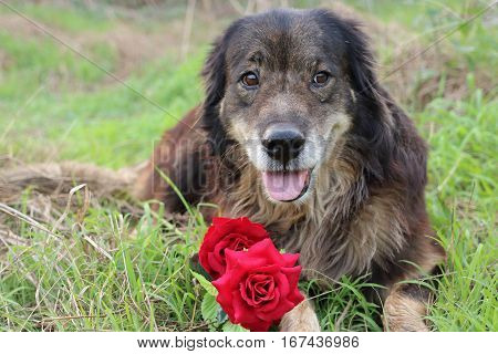 Lovely dog in love with a beautiful bouquet of artificial red roses on green grass outdoors. Valentine's day with animal concept.