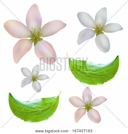 Apple leaves and flowers pattern isolated on white background with clipping path. Two apple leaves isolated. One red apple isolated. Two apple flowers isolated.