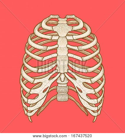 Illustration of human rib cage. Line art style. Boho vector realistic