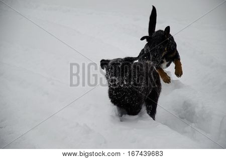 Two mongrel dogs playing in a fluffy snow