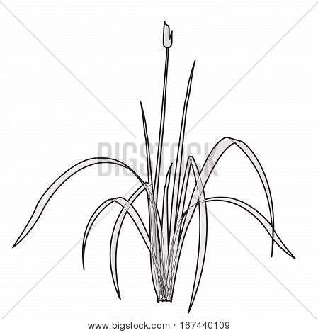 Vector isolated reed. Outlined water. Isometric clump of reed growing on the edge of the pool and pond. Individual flower bamboo reed.