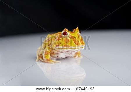 Argentine Horned Frog (Ceratophrys ornata) also known as the Argentine wide-mouthed frog or ornate pacman frog from the grasslands of Argentina Uruguay and Brazil.