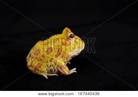 Argentine Horned Frog (Ceratophrys ornata) also known as the Argentine wide-mouthed frog or ornate pacman frog from the grasslands of Argentina Uruguay and Brazil. Isolated on black.