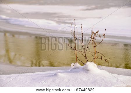 Dry Plant In The Snow, Close To The Frozen River