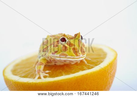 Argentine Horned Frog (Ceratophrys ornata) is on fresh orange also known as the Argentine wide-mouthed frog or ornate pacman frog from the grasslands of Argentina Uruguay and Brazil.