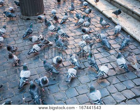 Travel to Italy - urban pigeons on Piazza della Rotonda in Rome city in winter