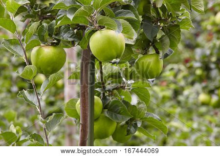 Green apples detail on a tree. Horticulture background. Agriculture. Food